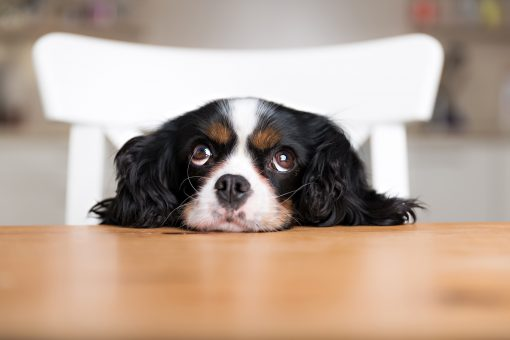 dog begging P89KWAX